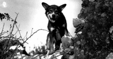 Military-war-dog